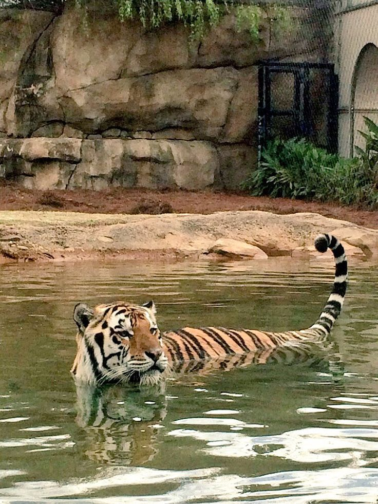 53 Best Images About Tiger Spirit On Pinterest Baton