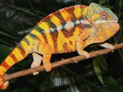 Chameleons For Sale Online Review - http://www.mypetarticles.com/chameleons-for-sale-online-review/#more-240