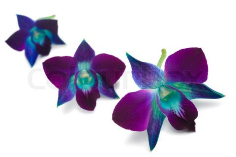 Image of 'deep purple orchid isolated on a white background'