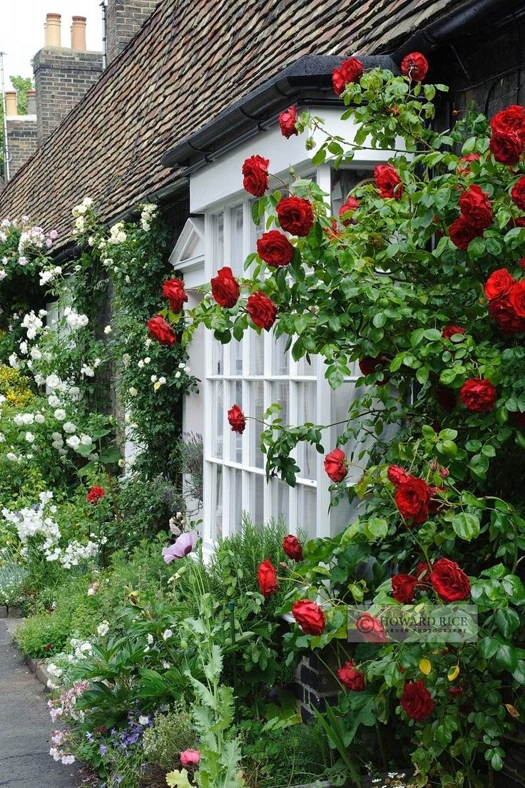 Red & white climbing roses on a wall | Howard Rice