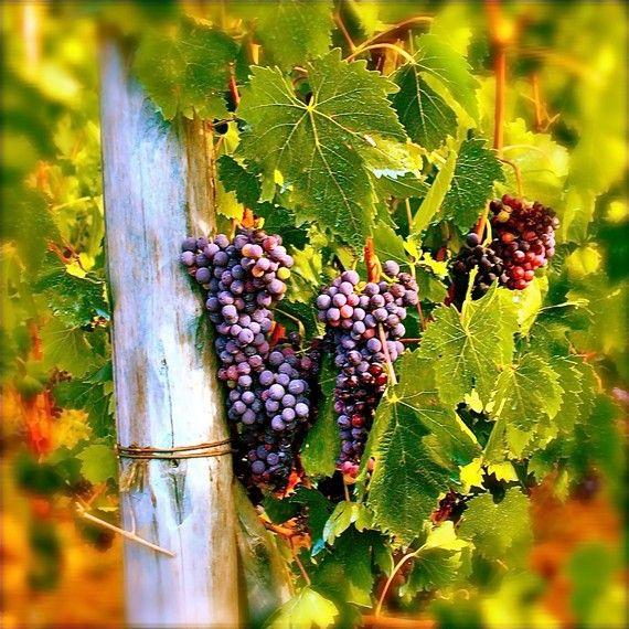 Italy Photography - Tuscan Grape Harvest - Vibrant Italian Autumn Green Purple Wine Print Tuscany Home Decor Italy Fine Art Print