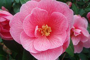 Care of Ericaceous plants.