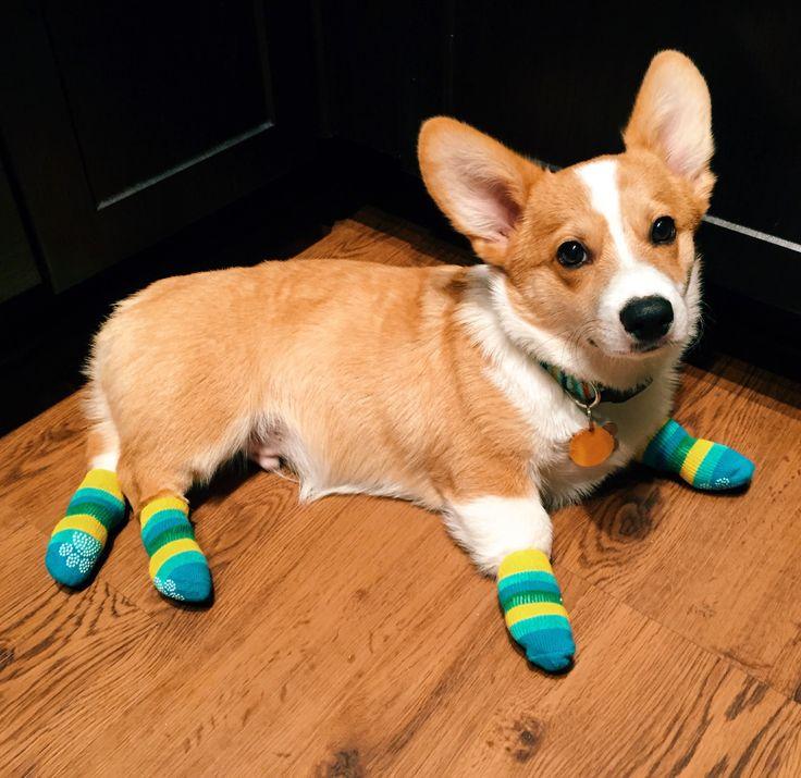 The Queens corgis — My corgi is modeling his new socks. at...