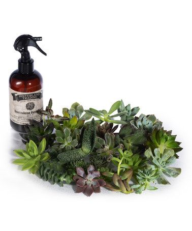 Look what I found on #zulily! Living Succulent Plant - Set of 20 #zulilyfinds