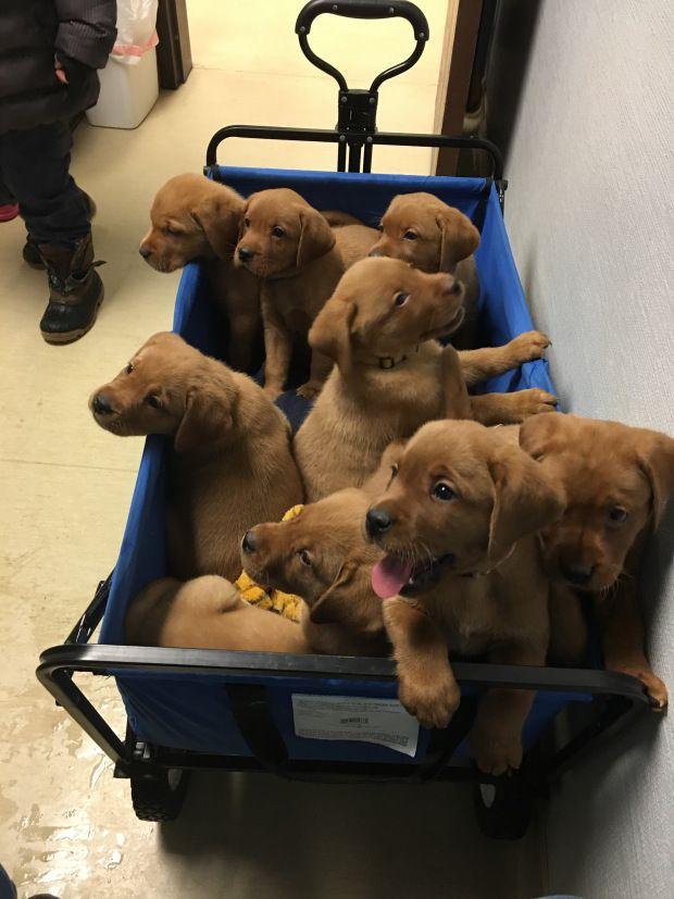 Borador Puppy Mother En Labrador Retriever And Father A En Border Collie 6 Weeks Old List Of Dog Crossbreeds
