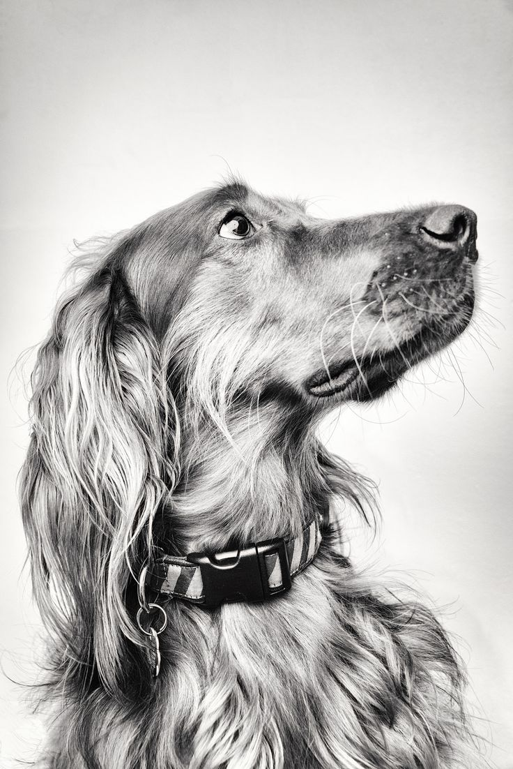 best seter images on pinterest doggies irish setter and dogs