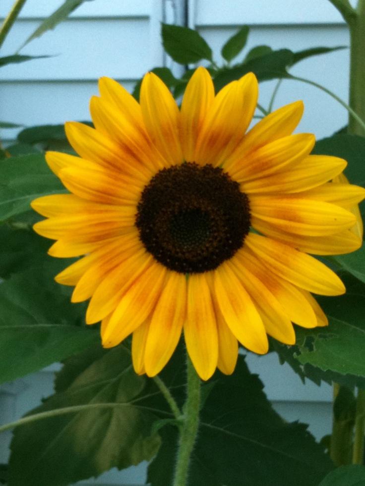 1092 best sunflowers make me smile images on pinterest