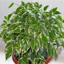 6. Кинки Это мелколистный, кустовой, карликовый фикус с белыми, желтоватыми и светло-зелеными оттенками по краям зеленой листвы.