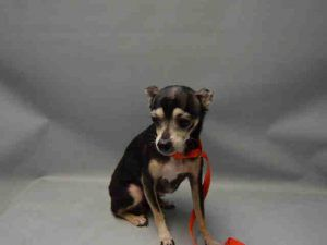 SAFE❤️❤️ 11/30/16 THANK YOU❤️❤️SUPER URGENT 11/29/16 Brooklyn center KATY – A1098164 FEMALE, BLACK, CHIHUAHUA SH MIX, 10 yrs STRAY – STRAY WAIT, NO HOLD Reason STRAY Intake condition GERIATRIC Intake Date 11/28/2016, From NY 11207, DueOut Date 12/01/2016,