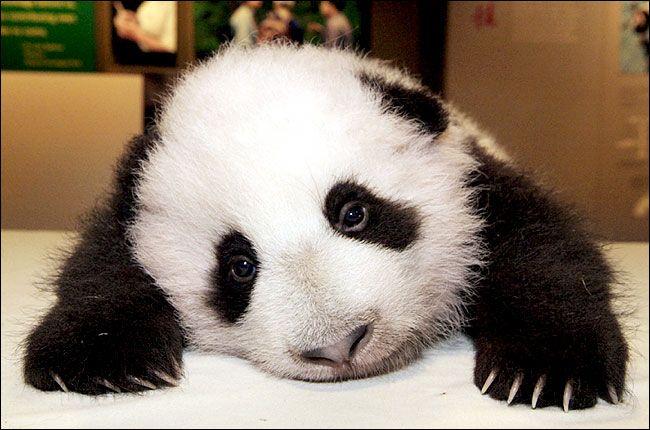 Panda<3Cutest Baby, Baby Pandas,  Pandas Bears, Giants Pandas, Sadness Pandas, Baby Animal, Funny Animal Photos,  Coon Bears, Landscapes Photography