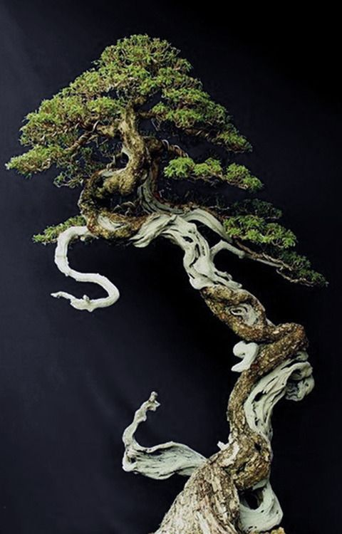 No information where I found this photo but it appears the specimen has been trained to twist about and follow the shape of the dry wood (driftwood?). Lovely example of bonsai art!