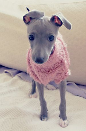 Greyhound Puppy Dog Dogs In Clothes #DogsInClothes - Can you handle the cuteness?!