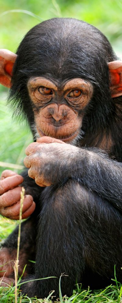 238 best images about Baby Chimpanzee on Pinterest