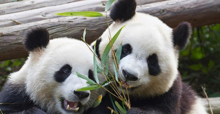Pandas gigantes brincam em Chengdu, na China. Graças aos esforços de conservação da vida selvagem, os pandas saíram da lista de espécies em risco de extinção da União Internacional para a Conservação da Natureza