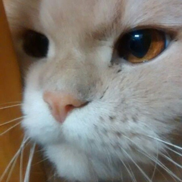 #cats_of_instagram #cat #NowergianForestCat
