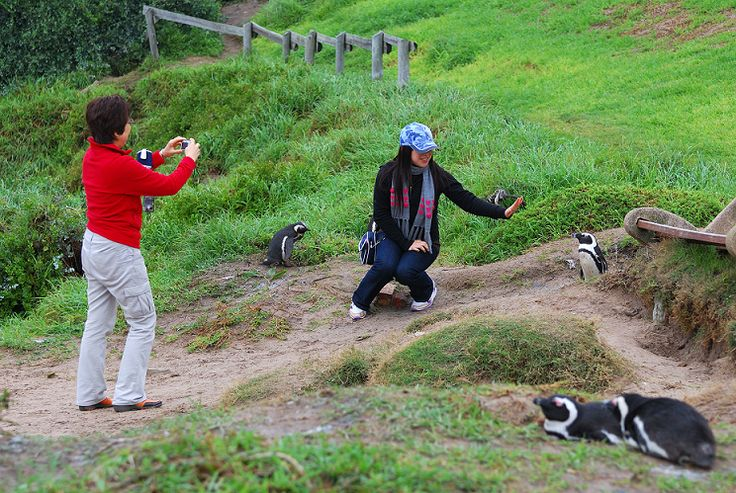 South African penguin colony