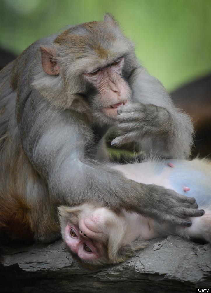 Asian macaque