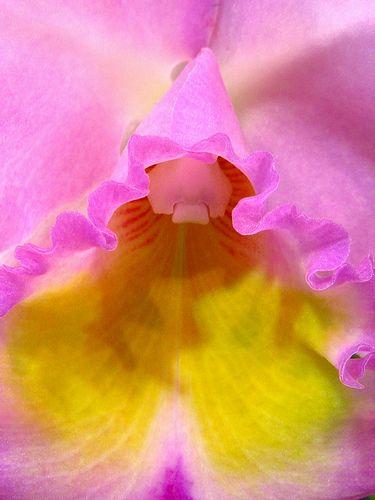 Cattleya, by nobuflickr, via Flickr