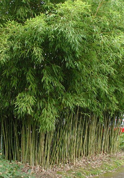 Phyllostachys aurea Common names: Fish pole Bamboo, Golden Bamboo Maximum Height: 30 feet Typical northwest height: 15 to 20 feet Diameter: 1.25 inches Hardiness: 0° F Minimum USDA zone 7a through 10