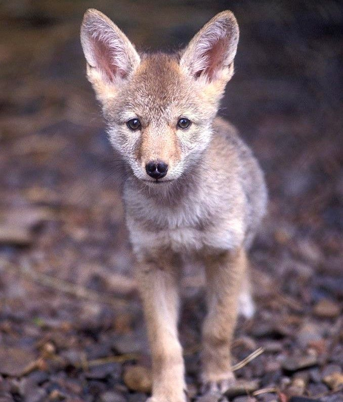 Baby coyote | Where I Live | Pinterest