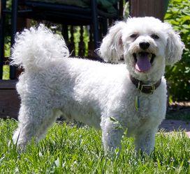Adopt Prince on Bichon frise, Dogs, Arlington heights