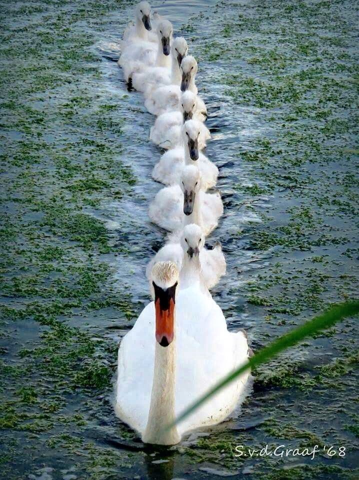 Swan with her cygnets