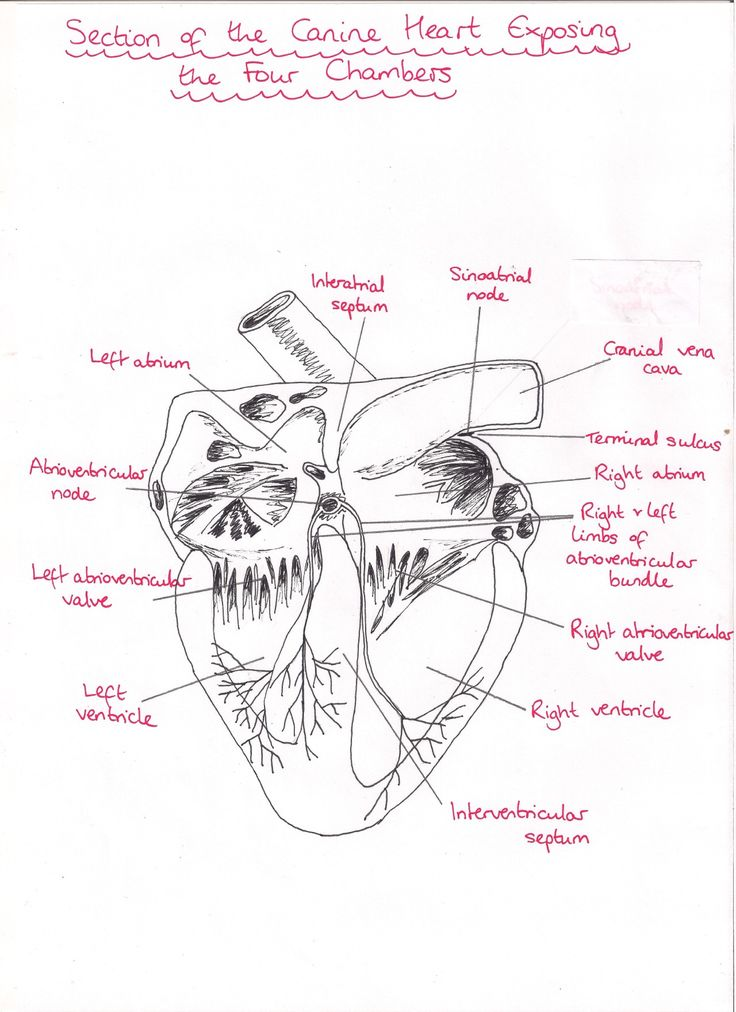 Dog anatomy heart