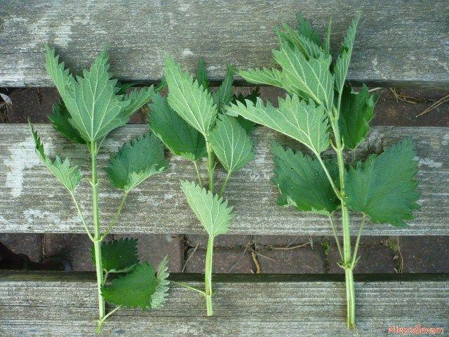 Na gnojówkę nadają się pędy o długości ok. 20 cm. Można też obrywać same liście. Aby nie zniszczyć stanowiska, zrywa się maksymalnie 1/3 roślin. Resztę trzeba zostawić. Fot. Niepodlewam