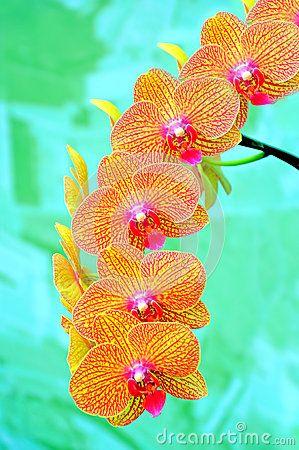 Sonata de orquídeas vibrantes