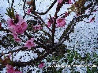 Perzik/sierperzik Pink Peachy met grote roze bloemen. Boom draagt zeer veel bloemen. http://fruitabc.blogspot.be/2015/01/krulziektetolerante-perzikbomen-planten.html