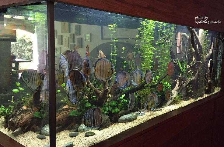 Angelfish and discus - Timeline