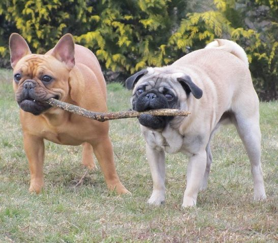 French bulldog vs pug size
