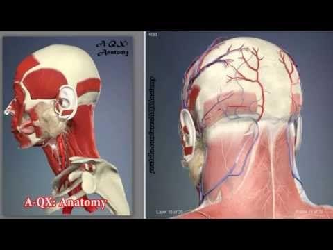 3D Анатомия человека | Диафрагма мышца человека: в видео обзоре мышца человека диафрагма (лат. diaphragma, от др.-греч. διάφραγμα перегородка) — непарная мыш...