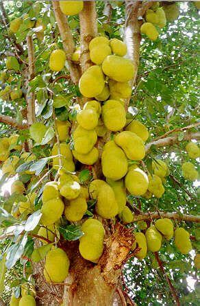 Jaca - Brazilian Fruit #brasil #brazil