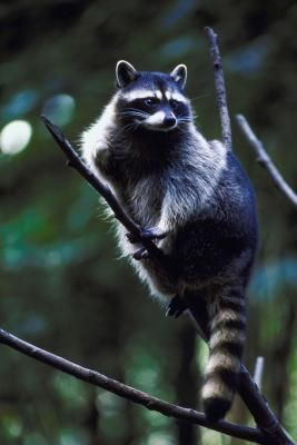 How to keep raccoons out of hummingbird feeders home hummingbirds and raccoons How to keep raccoons out of garden