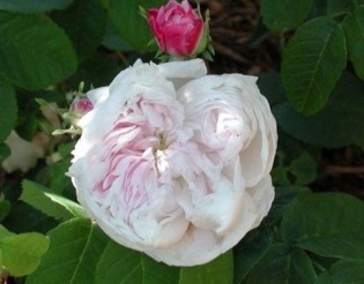78 images about garden old garden roses on pinterest belle blue roses and fragrance. Black Bedroom Furniture Sets. Home Design Ideas