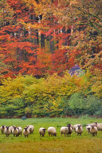 stock photo of flock of sheep on meadow against autumn trees with red and yellow leaves vertical