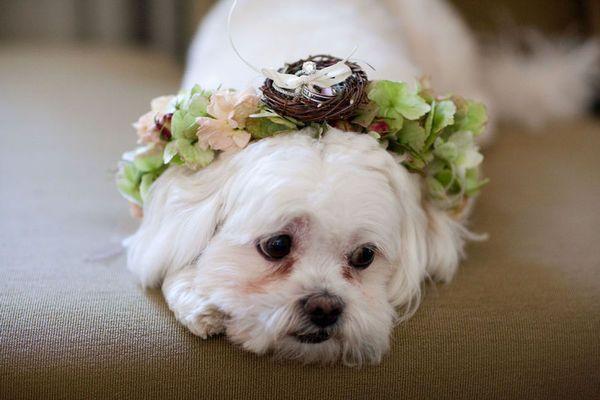 Hace un par de días fue el Día Mundial del Perro, por ello hoy quiero dedicar este artículo a ellos. Muchas parejas consideran a sus mascotas no solo como sus mejores amigos sino como a sus hijos, y cada vez es más popular que las mascotas sean parte de la boda.  http://zankyou.terra.com.mx/p/collar-de-flores-para-el-paje-de-honor-tu-perro-26802
