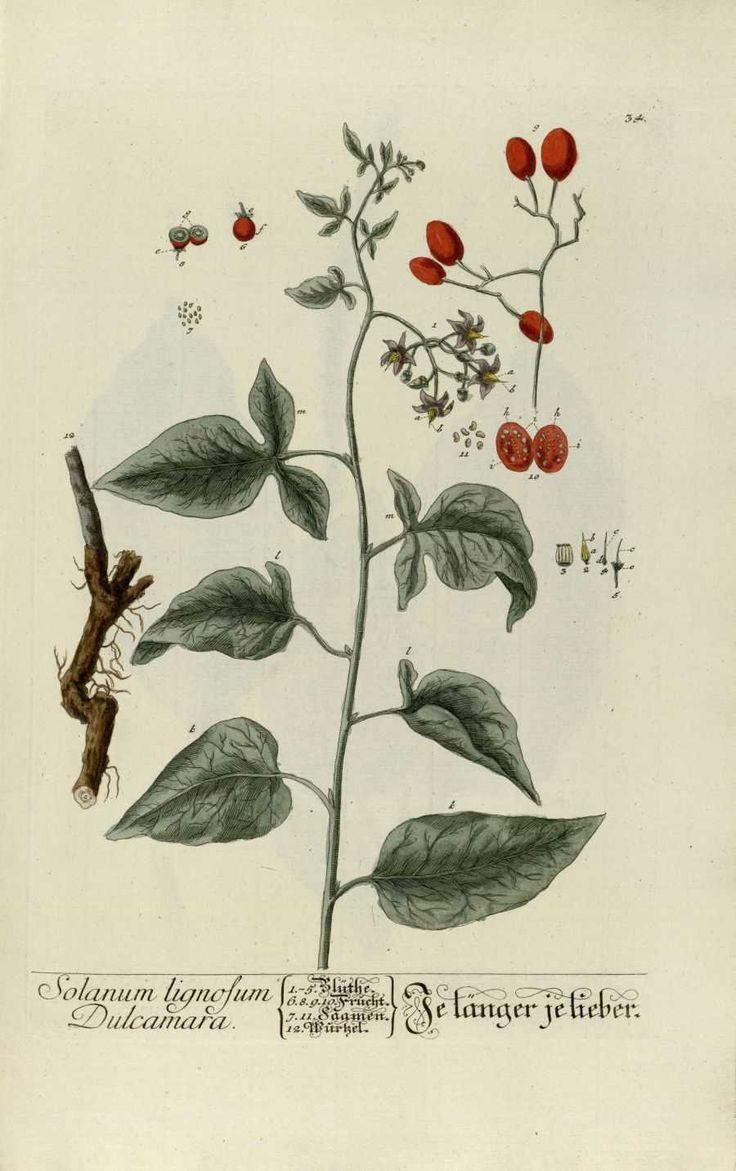 La dulcamara es una planta medicinal. La fruta es una baya