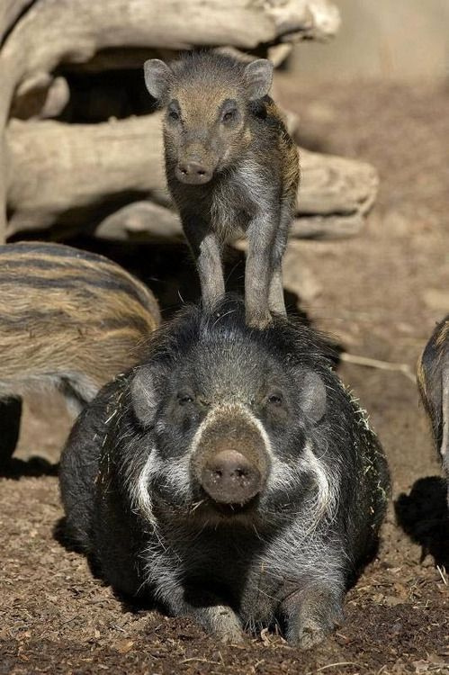 A 6-week-old Visayan warty pig stands atop of an adult at the San Diego Zoo, California. This piglet is critically endangered and is found only on two islands in the Philippines. The Zoo has been successful at reproducing this species.  (Photo by Ken Bohn/San Diego Zoo)