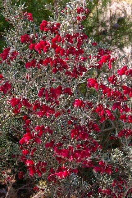 Grevillea lavandulacea (Lavender Grevillea)