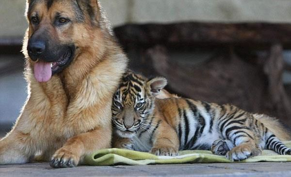 A dog cuddling with a baby tiger.