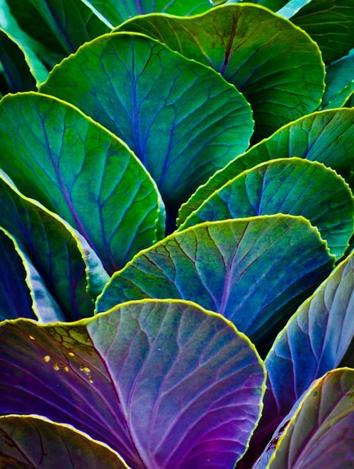 Analogous are color schemes based on colors adjacent to each other on the color wheel. We're looking at some analogous cabbage.