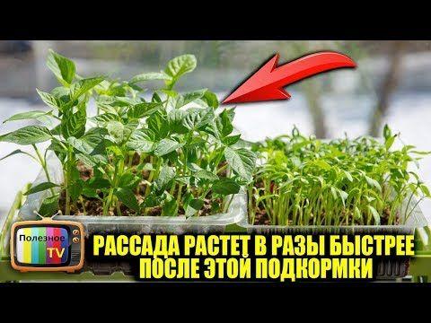 РАССАДА РАСТЕТ В РАЗЫ БЫСТРЕЕ ПОСЛЕ ЭТОЙ ПОДКОРМКИ - YouTube
