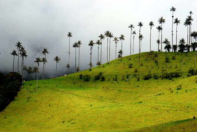 Day 166: Wax palms, Valle de Cocora (Colombia)