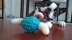Funny Looking Dog Goes Crazy With Rubber Toy - Animated GIF