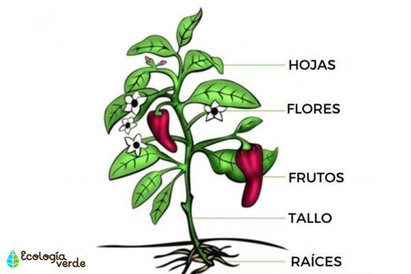 Plantas Vasculares Que Son Caracteristicas Y Ejemplos Partes De La Planta Plantas Caracteristicas De Las Plantas