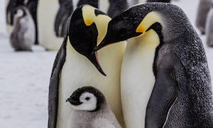 Emperor penguins are perfectly adapted to survive harsh Antarctic conditions but their habitat is threatened due to climate change. To celebrate World Penguin Day, the WWF has released its top 10 emperor penguin facts