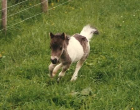 "Dwarf Miniature Horses for Sale | Tiny Suncrest Holly Smoke (paddock name ""Cracker"") on the run"