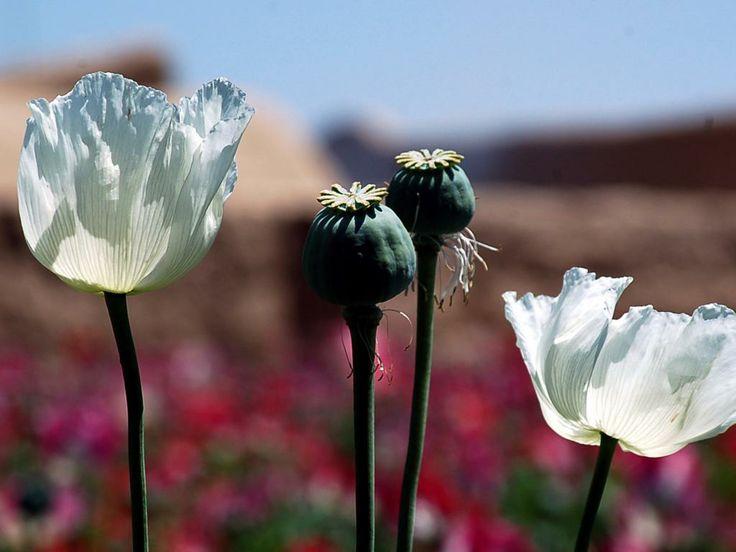 Zondag 27 april 2014: Bloeiende papaver in een veld in Kandahar, Zuid-Afghanistan.